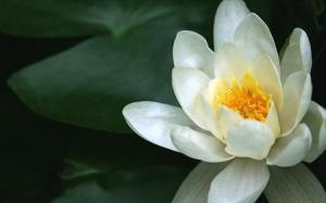 lotus-flower-low-res