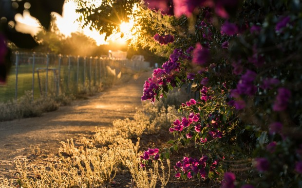 Bougainvillea-flowers-blooms-sun-rays-morning_1920x1200