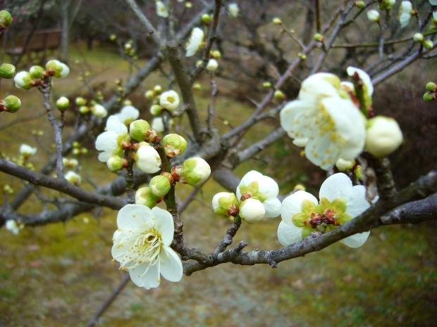p1160204_plum-blossom-white